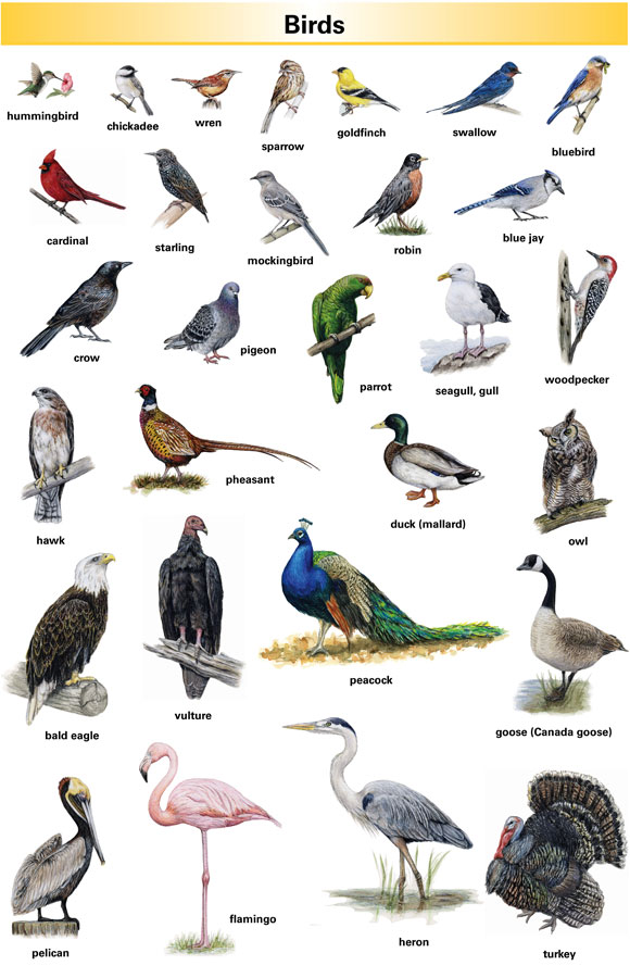 Bird Definition For English Language Learners From Merriam Webster S Learner S Dictionary