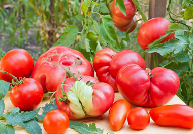 A bunch of grotesque tomatoes