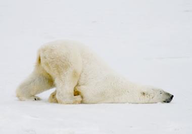 The polar bear is in a peculiar position.