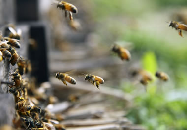 A colony of honey bees