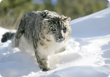 The snow leopard is an elusive creature.