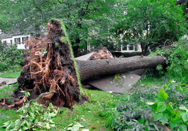 Tree uprooted by a storm