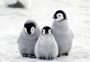 Three adorable penguins