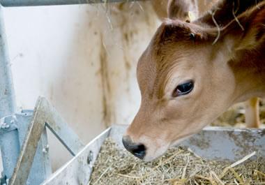 A calf eating fodder