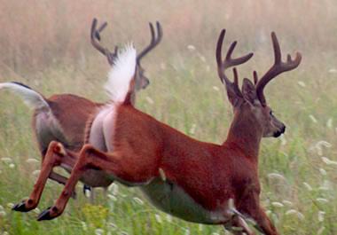 Deer fleeing from danger