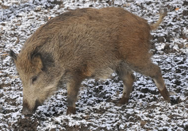 A pig foraging for food