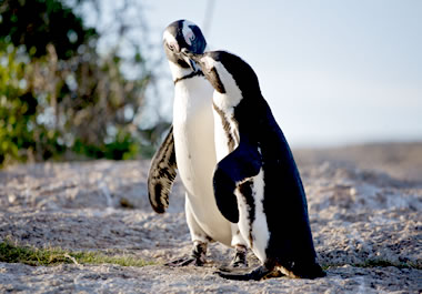 Penguins pair off during the mating season.