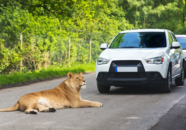 The lion is lying smack-dab in the middle of the road.