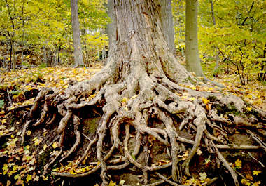 A tree absorbs water through its roots.