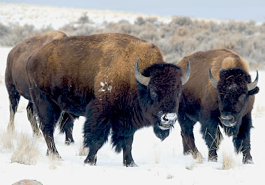 Buffalo roaming open pastures in the winter