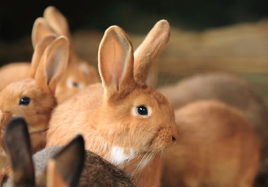 Rabbits multiply quickly.