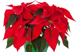 Poinsettia Definition Of Poinsettia By Merriam Webster