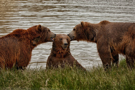 three bears two of them look like theyre whispering to a third bear who looks chuffed to be the center of attention